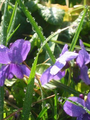 petite violette des champs