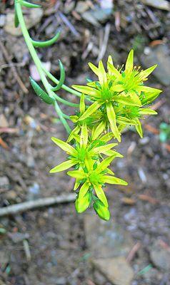 Petites fleurs dans les Pyrénées.