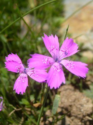 petites fleurs de nos montagnes