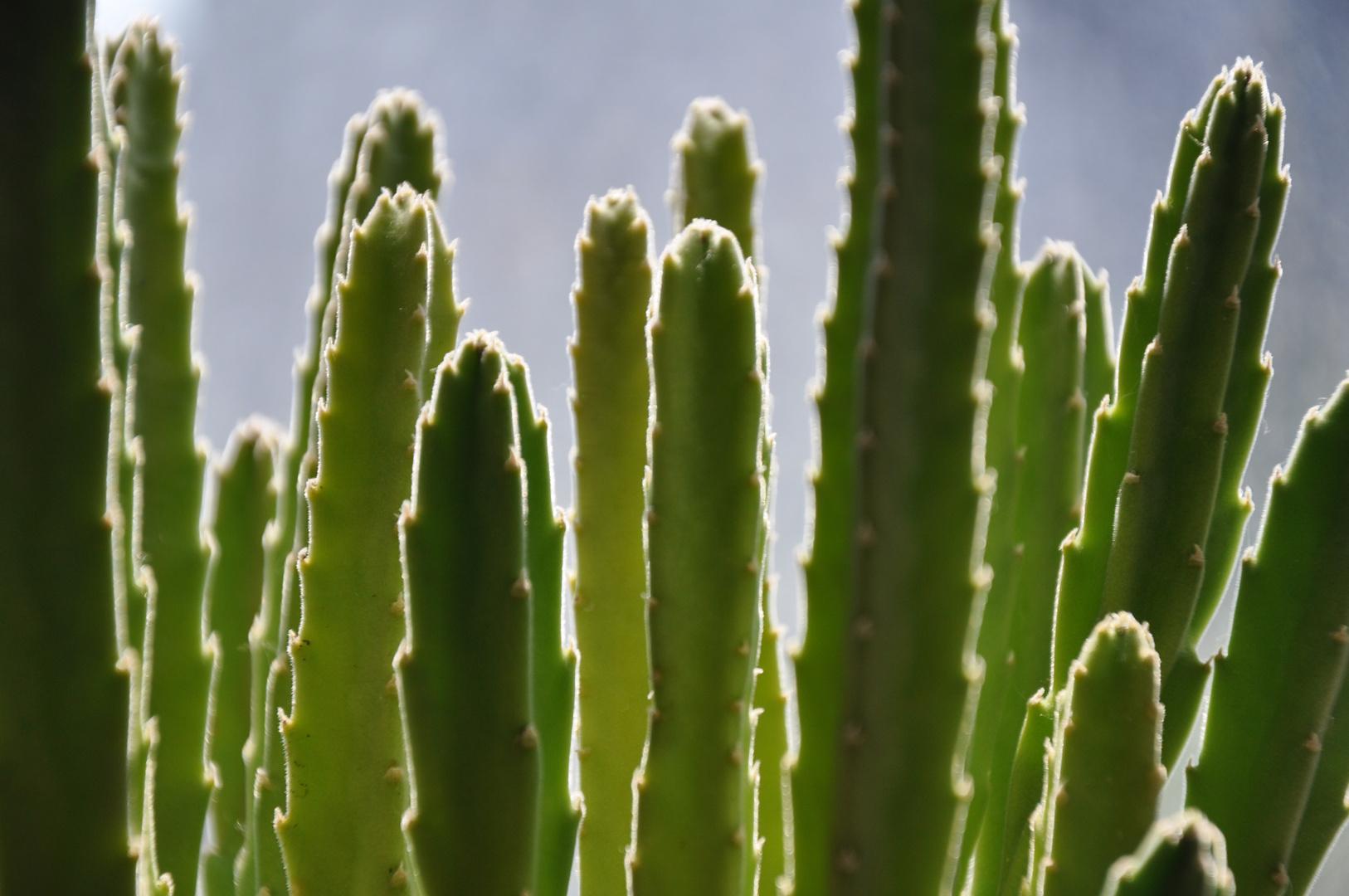 Petits Cactus