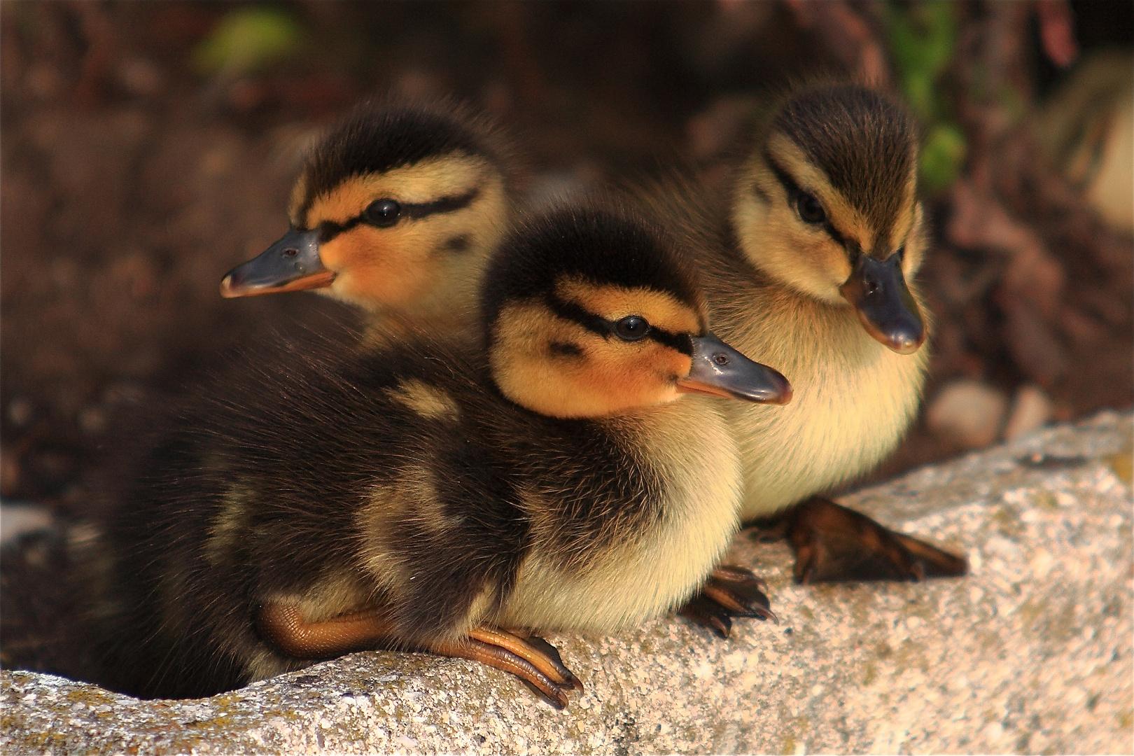 Petits canards du Léman, juste quelques instants avant leur premier bain.