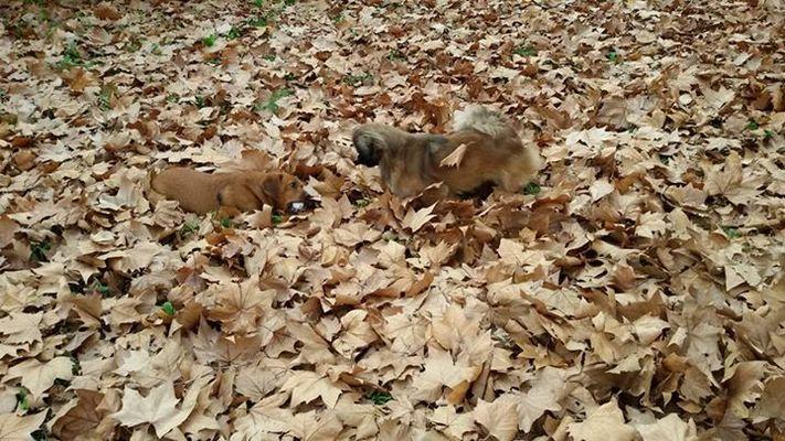 petits chiens qui jouent dans les feuilles
