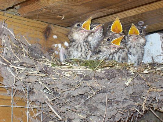 Petits gobe-mouches gris affamés