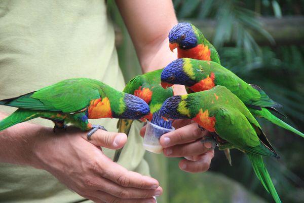 Petits perroquets