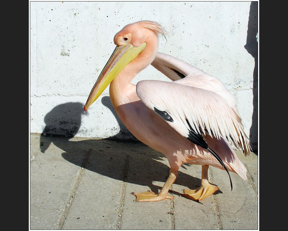 Petros Pelikan