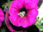 Petunie mit Schmetterling
