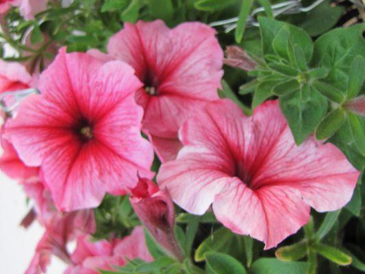 Petunie (Trichterblumen)