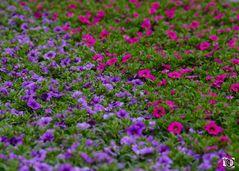 Petunien pink und lila
