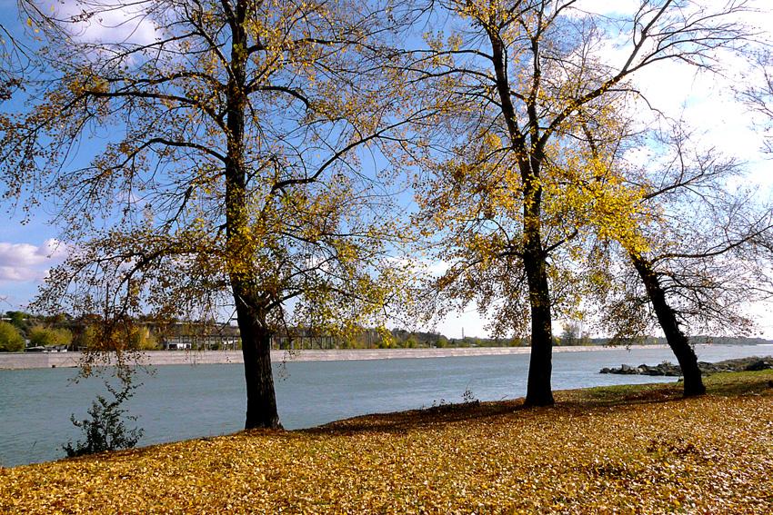 Peupliers au bord du fleuve