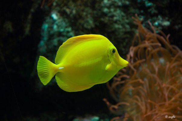 pez amarillo
