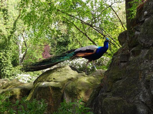 Pfau im Zoo Dresden