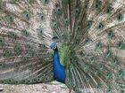 Pfau-Peacock