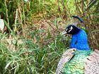 Pfau - Tierpark Kleve