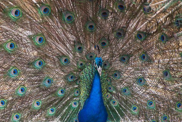 Pfau-World of Birds-Cape Town