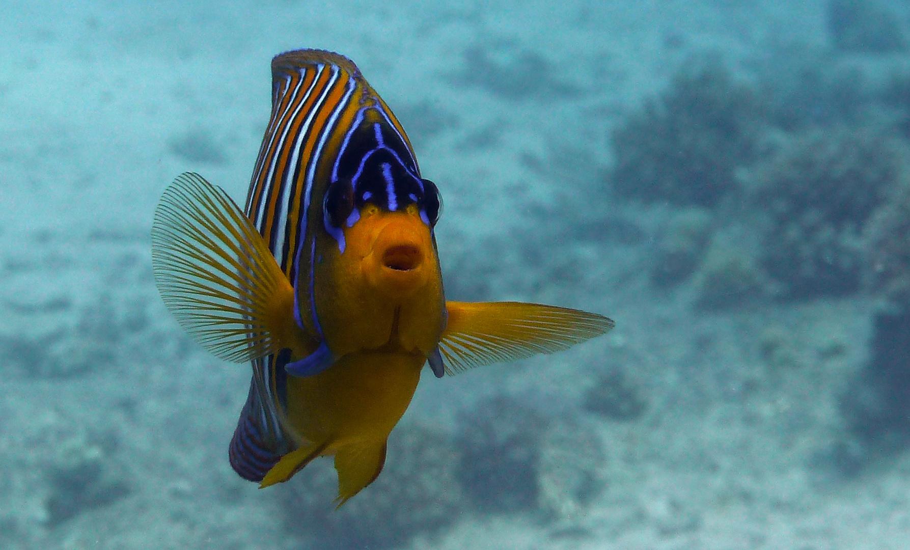 Pfauen Kaiserfisch