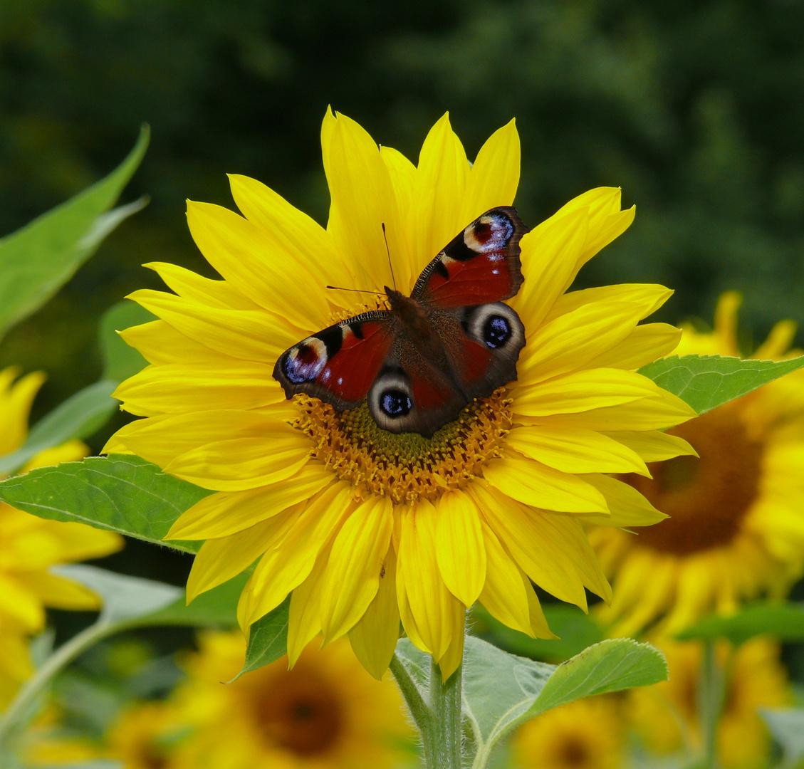 Pfauenauge auf Sonnenblume