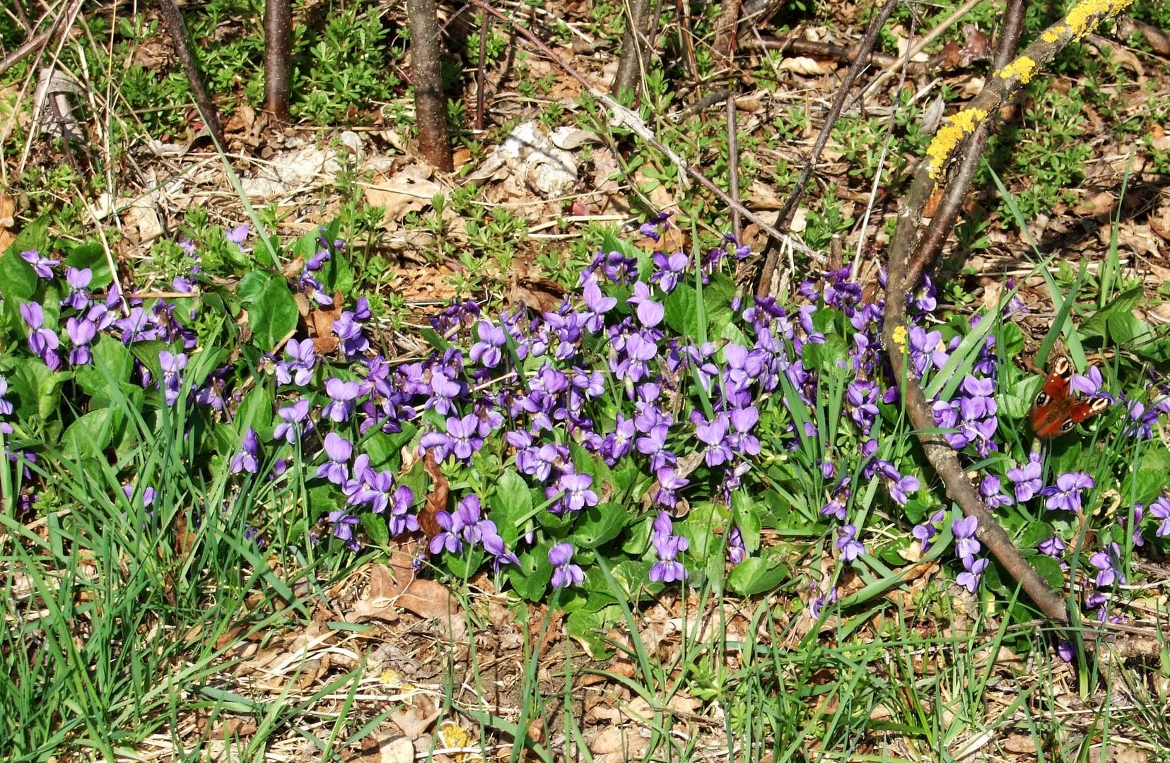 Pfauenauge begrüßt den Frühling
