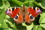 Pfauenauge Schmetterling 2