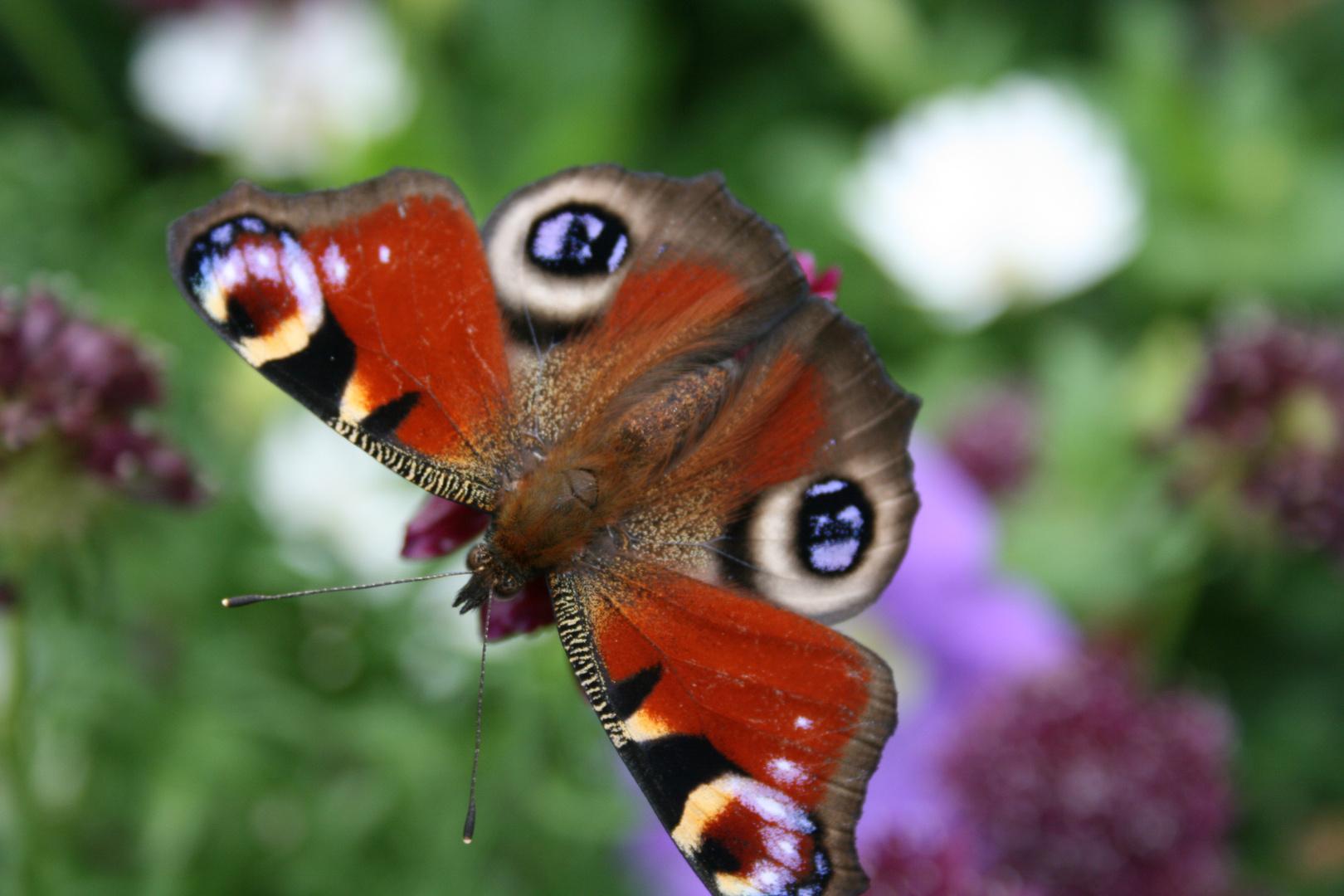 Pfauenauge Schmetterling