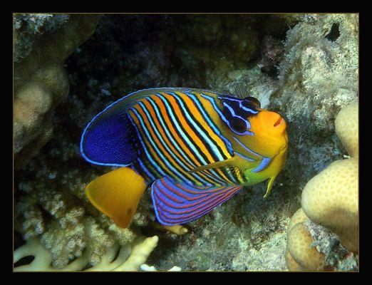 pfauenaugen-kaiserfisch