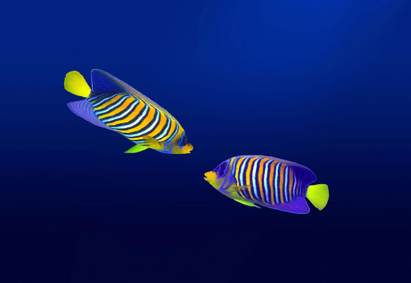 Pfauenkaiserfische