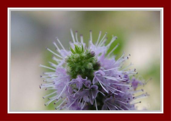 Pfefferminzblüte