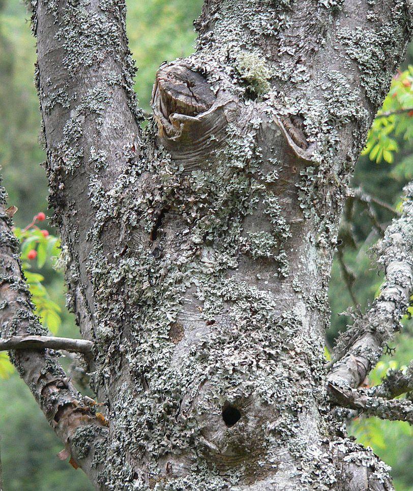Pfeifen im Walde -Tenor