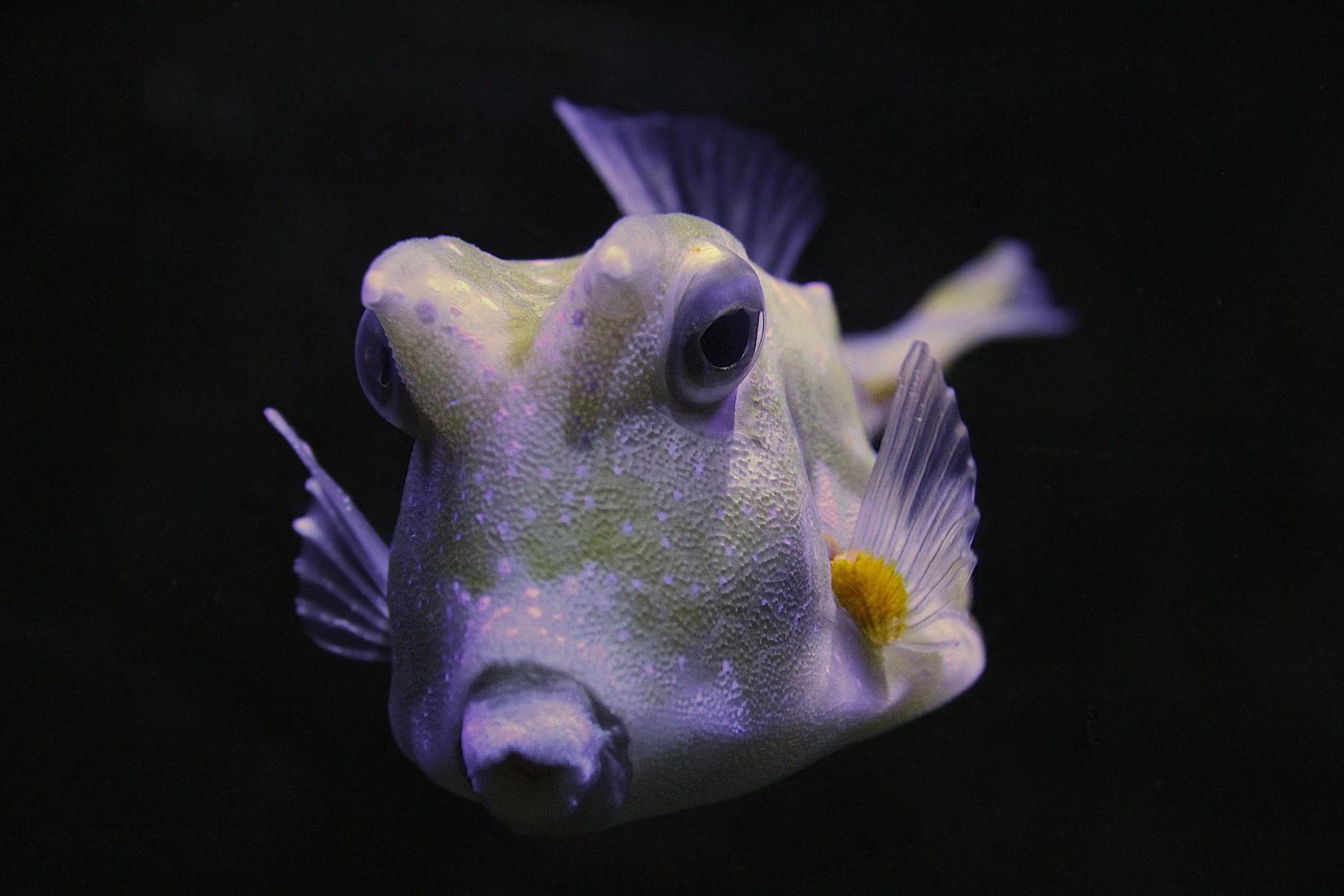 Pfeifender Fisch