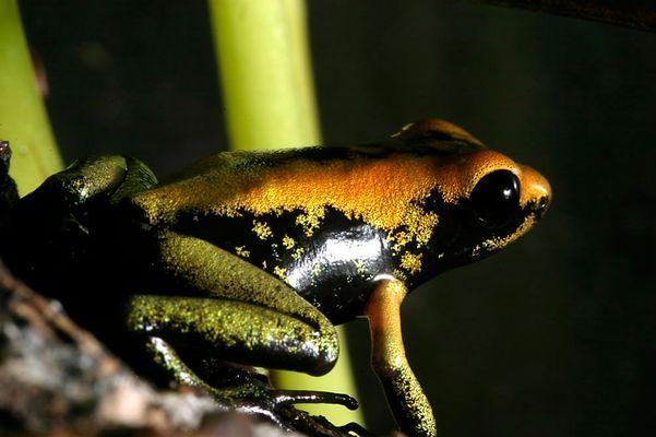 Pfeilgiftfrosch