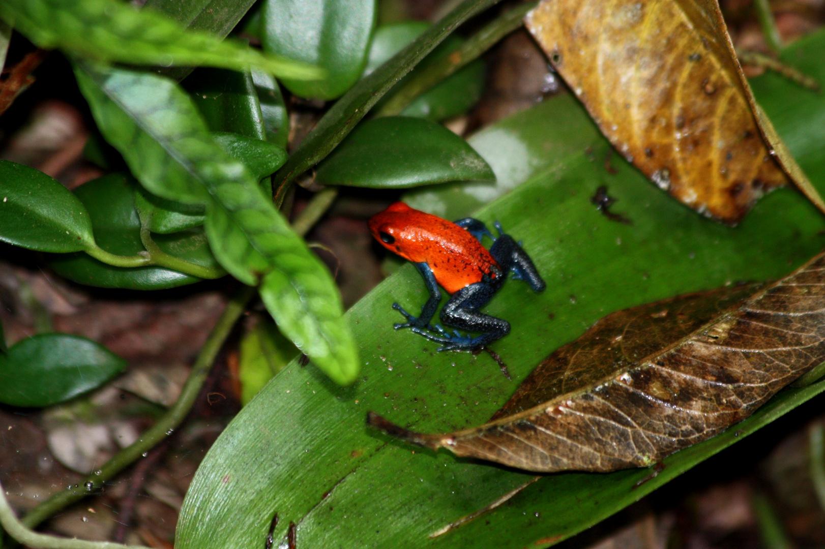 Pfeilgiftfrosch- Costa Rica