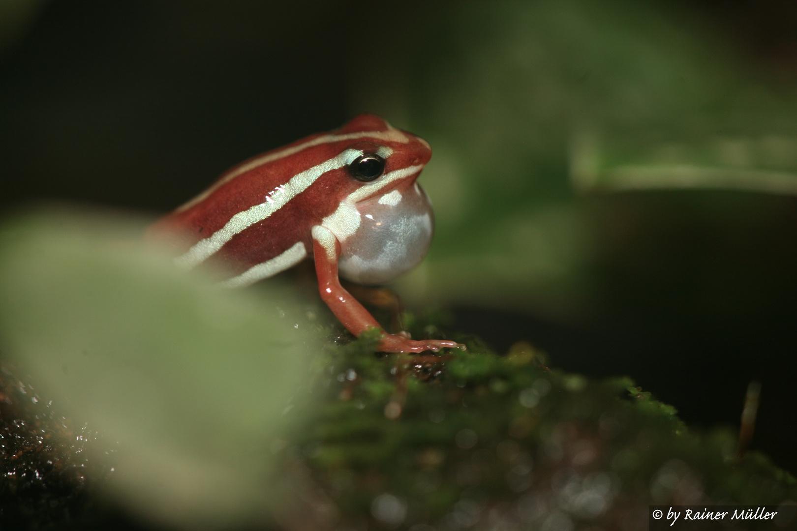 Pfeilgiftfrosch ruft Weibchen