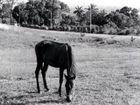 Pferd auf Cuba