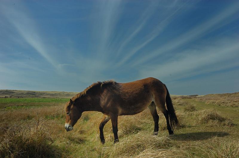 Pferd auf Texel