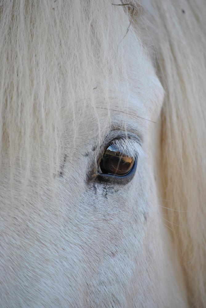 Pferd Auge