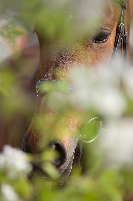 Pferd hinter Birnenbaum