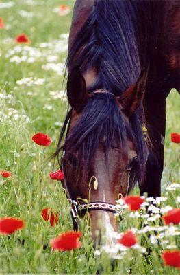 Pferd im Blumenmeer