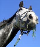 Pferd im Feld