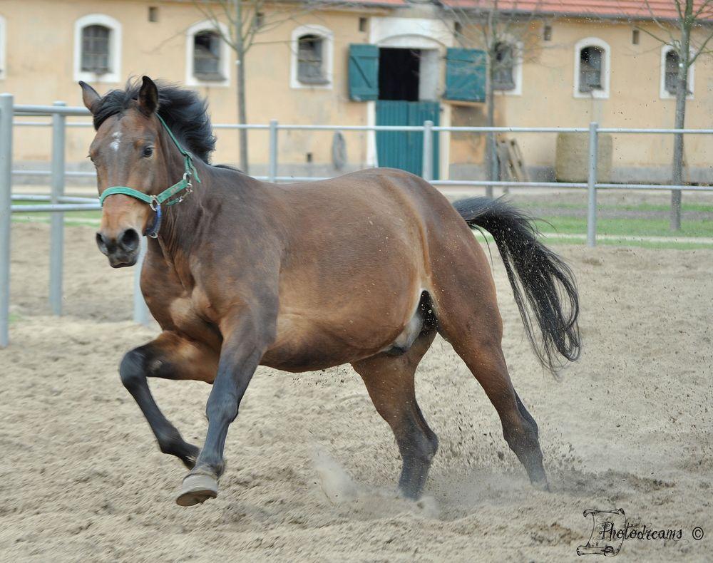 Pferd im Galopp (Reload)