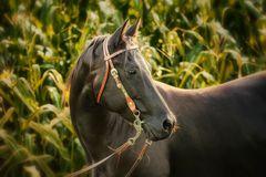 Pferd im Maisfeld