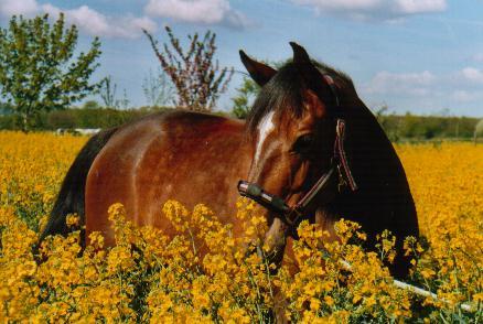 Pferd im Rapsfeld 2