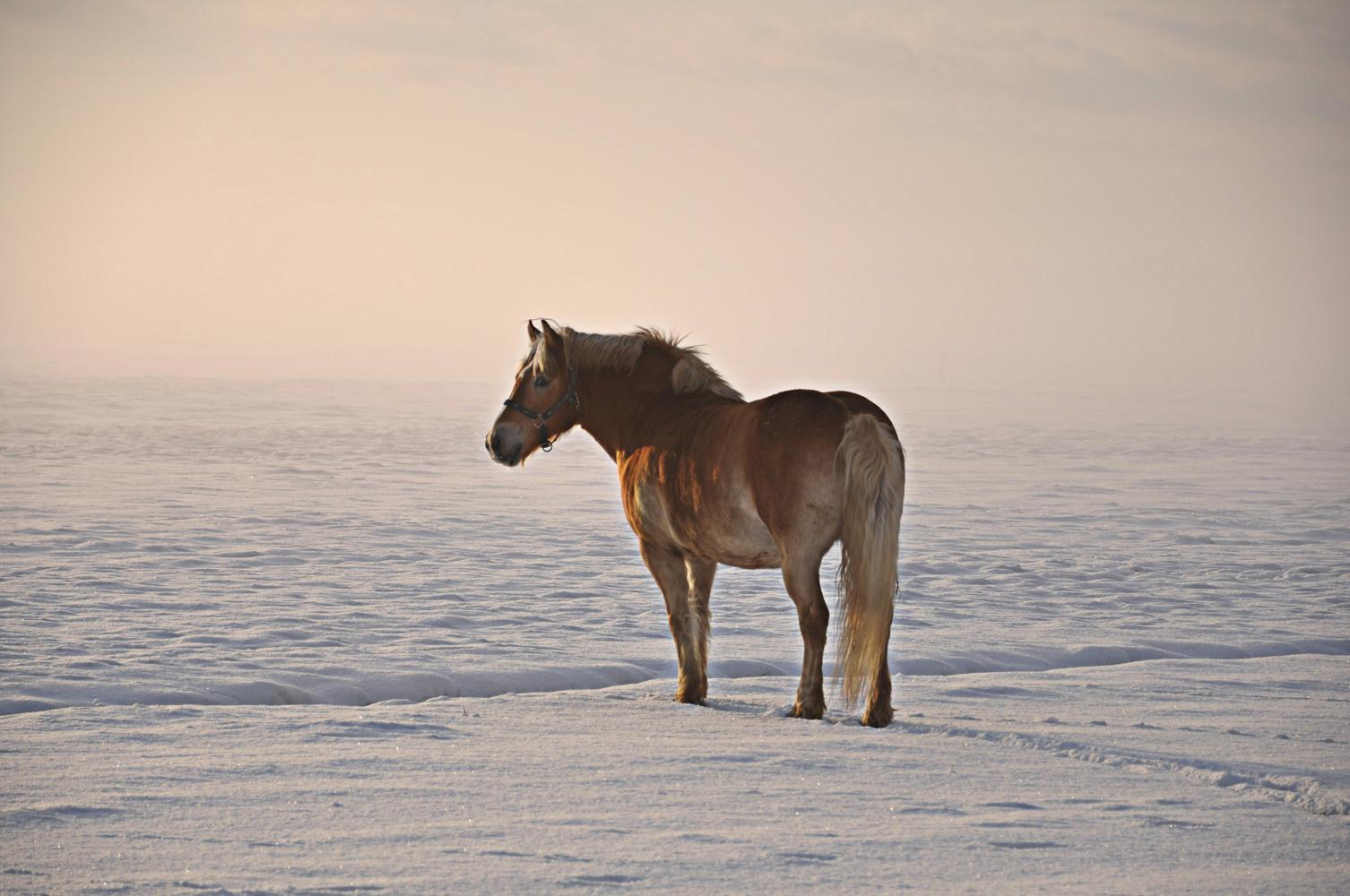pferd im schnee iii foto bild tiere haustiere pferde. Black Bedroom Furniture Sets. Home Design Ideas