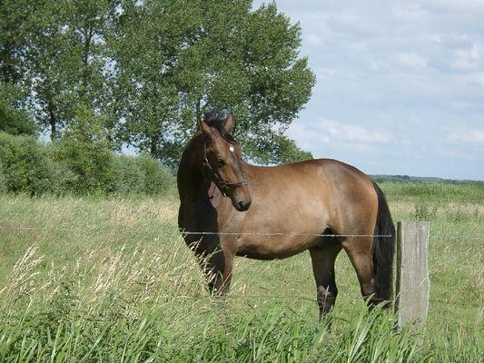 Pferd in der Elbmarsch