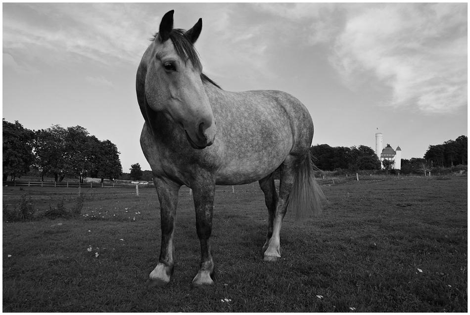 Pferd in s/w