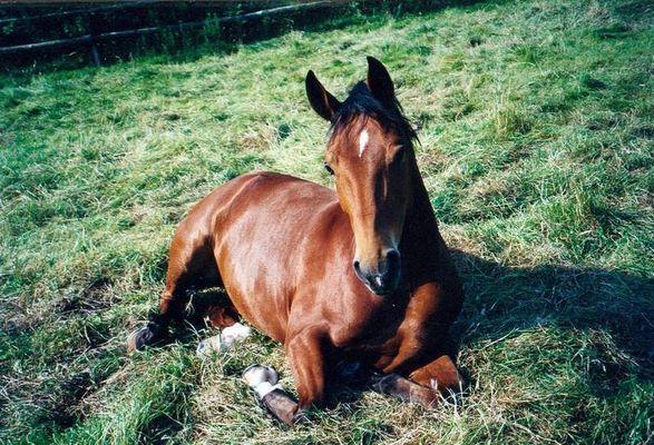 Pferd nachm Mittagsschlaf
