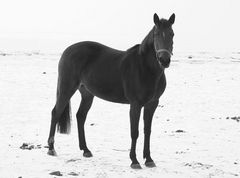 Pferd s/w