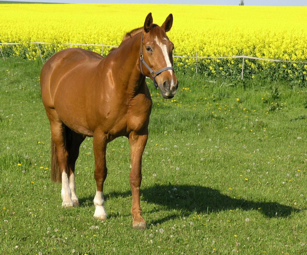 pferd vor rapsfeld auf gr ner weide foto bild sport sport mit tieren pferdesport bilder. Black Bedroom Furniture Sets. Home Design Ideas