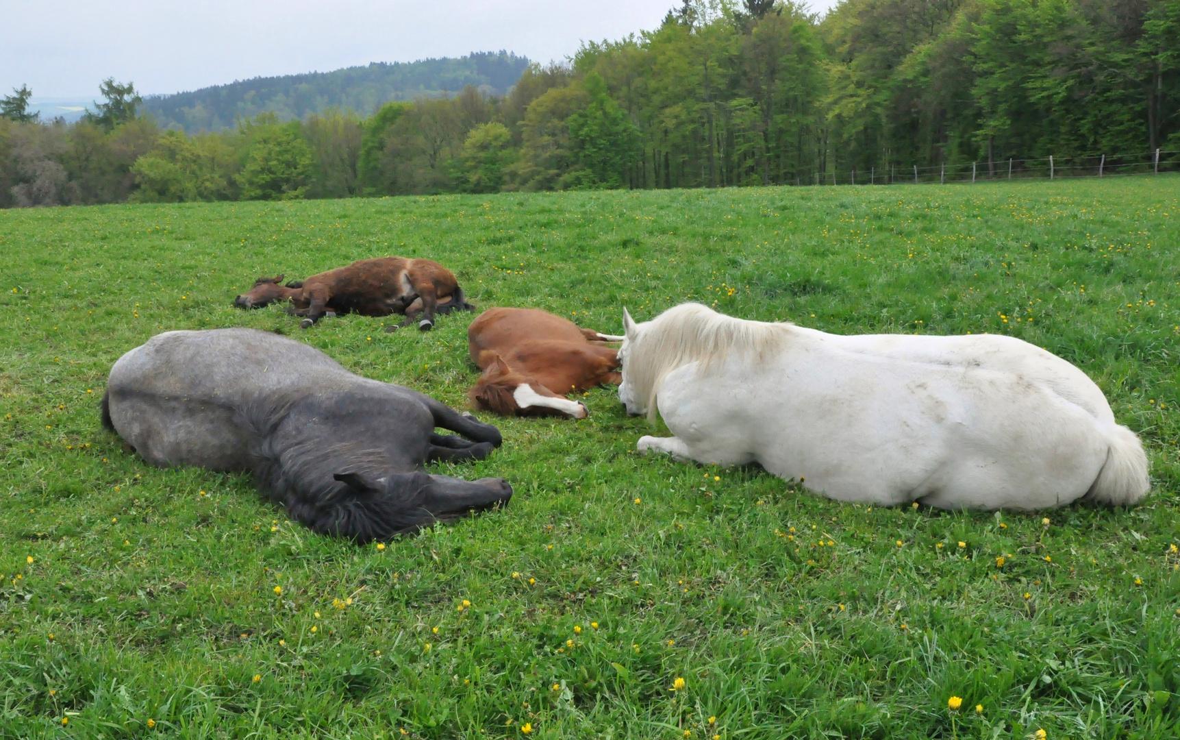 Pferde 22: beim schlafen