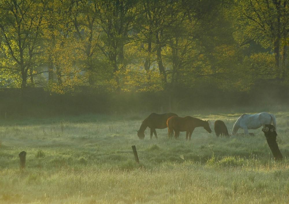 Pferde am Morgen