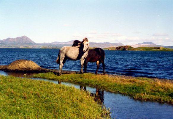 Pferde am Myvatn