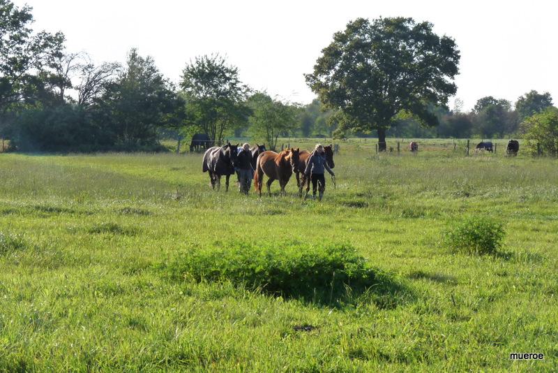 Pferde auf dem Weg zur Arbeit